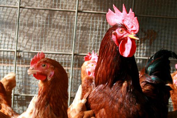 chickens 9